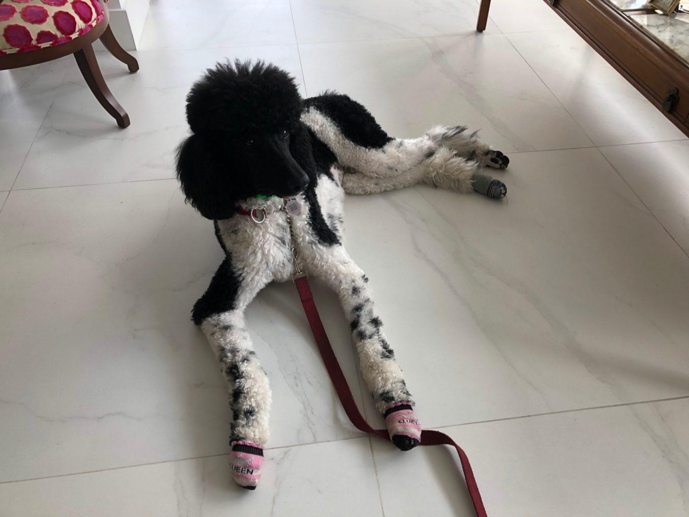 #poodletraining #puppytrainingmiami #miamipuppytrainer